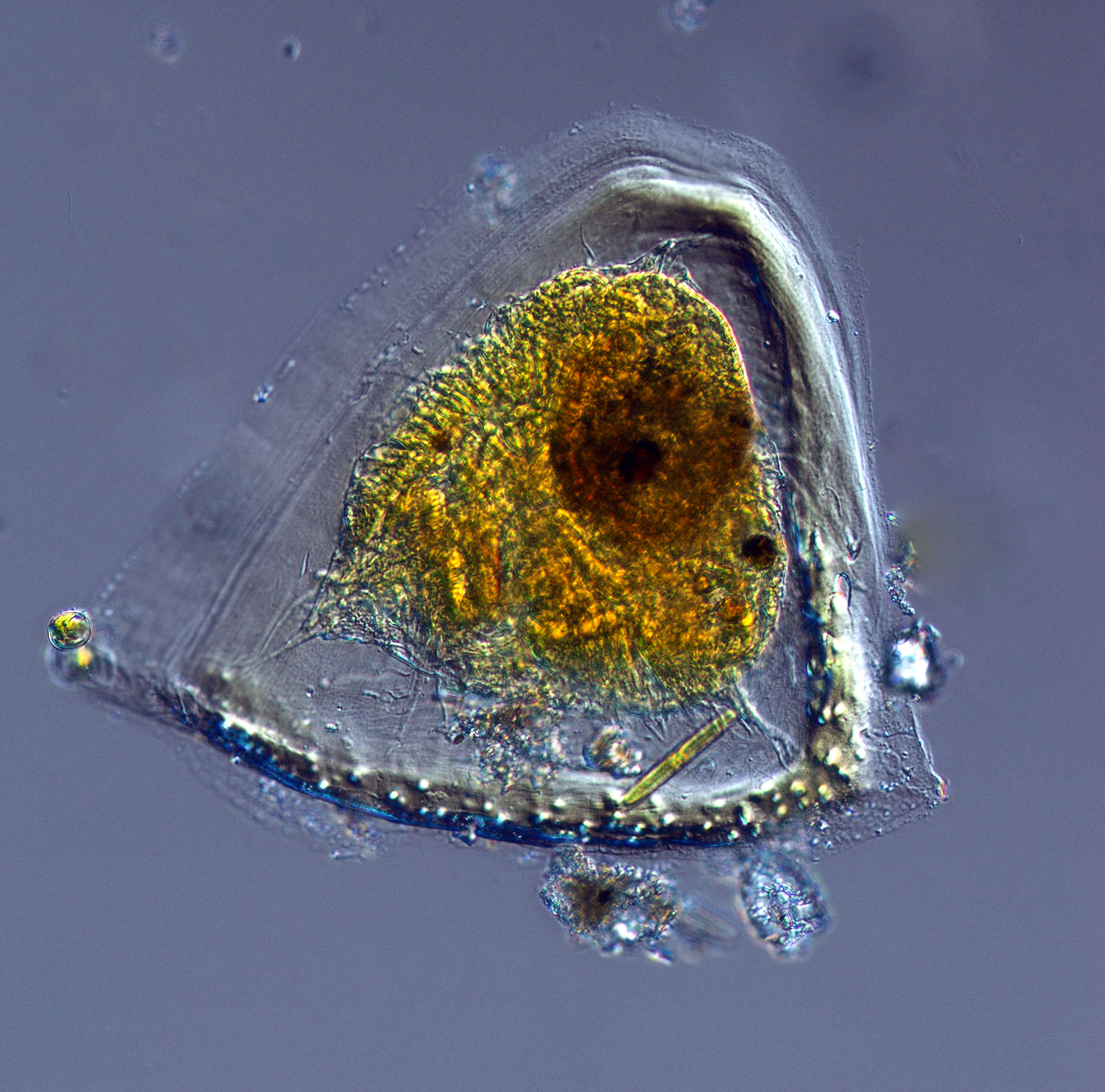 University Of Vancouver >> EOS - Phytoplankton Encyclopedia Project