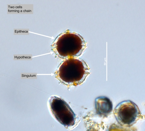 The University of British ColumbiaPhyto'pedia - The Phytoplankton Encyclopaedia Project